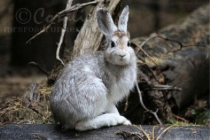Wild Snowshoe Hare Rabbit | Photos and Images | Animals