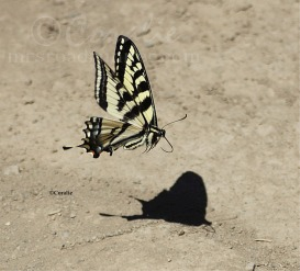 Swallowtail Butterfly Me And My Shadow | Photos and Images | Animals