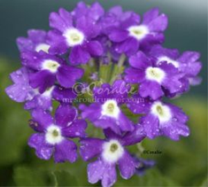 Verbena Flower Bloom | Photos and Images | Botanical