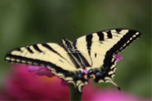 Yellow Swallowtail Butterfly on the Zinnia Flower | Photos and Images | Animals