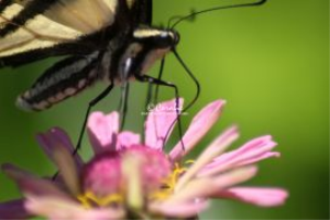 Yellow Swallowtail Butterfly Micro | Photos and Images | Animals