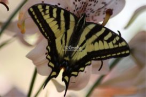 Yellow Swallowtail Butterfly On The Lily Flower | Photos and Images | Animals