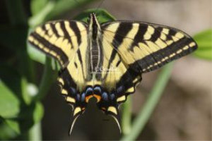 Yellow Swallowtail Butterfly | Photos and Images | Animals