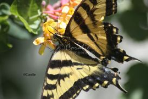 Yellow Swallowtail Butterfly Feeding On A Honeysuckle Flower | Photos and Images | Animals