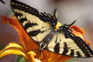 Yellow Swallowtail Butterfly on a Colorful Lily Flower | Photos and Images | Animals