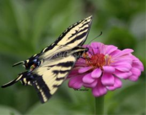 Yellow Swallowtail Butterfly on  a Zinnia Flower | Photos and Images | Animals