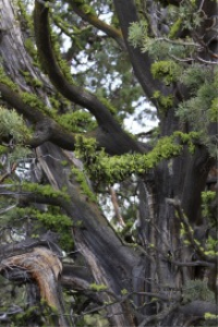 Juniper Lichen | Photos and Images | Nature