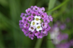 Alyssum Flower Blooms | Photos and Images | Botanical