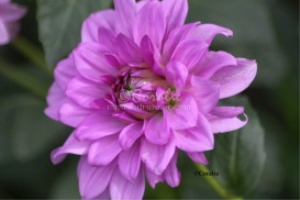 Colors Of The Dahlia Flower Bloom | Photos and Images | Botanical