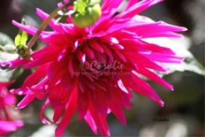 Fall Blooming Dahlia Flower Bloom | Photos and Images | Botanical