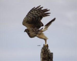 Wild Harrier Wings Up by Coralie | Photos and Images | Animals