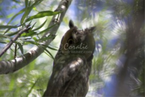 Long Eared Owl Looking At Us | Photos and Images | Animals