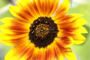 Flash Of The Sunflower Bloom | Photos and Images | Botanical