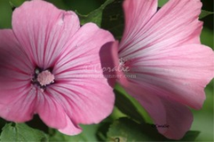 Pink Flower Blooms In The Garden | Photos and Images | Botanical