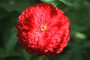 Red Zinnia Flower Bloom | Photos and Images | Botanical