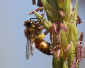 Honeybee On The Corn | Photos and Images | Animals