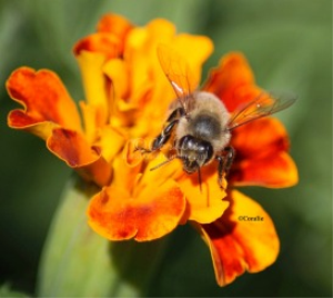 Honeybee On The Marigold Flower | Photos and Images | Animals