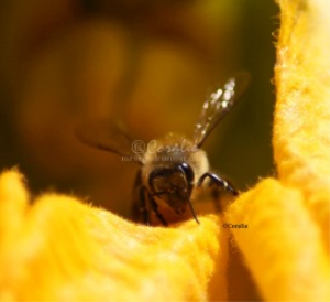 Honeybee On A Squash Flower | Photos and Images | Animals