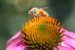 Honeybee On A Coneflower Bloom | Photos and Images | Animals