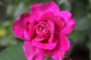 Intrigue Rose Flower Bloom | Photos and Images | Botanical