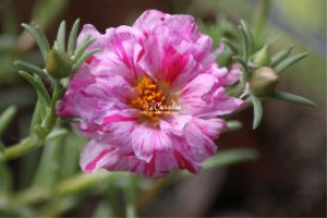 Two Toned Pink Moss Rose Flower | Photos and Images | Botanical