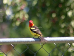 Western Tanager Bird | Photos and Images | Animals
