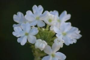 White Verbena Flower | Photos and Images | Botanical
