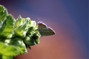 Colorful Gray Hairstreak Butterfly | Photos and Images | Animals