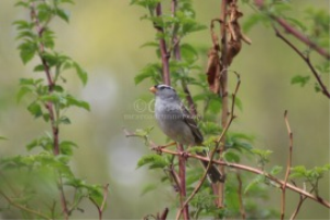 white crowned sparrow bird 1