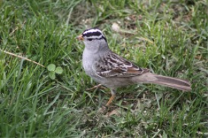 White Stripes Of The White Crowned Sparrow | Photos and Images | Animals