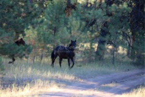 Wild Horses Of The Ochoco Mountains | Photos and Images | Animals