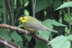 Wilsons Warbler Bird | Photos and Images | Animals