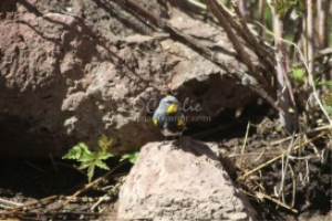 Yellow-Rumped Warbler On The Rock | Photos and Images | Animals