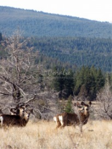 Central Oregon Mule Deer | Photos and Images | Animals