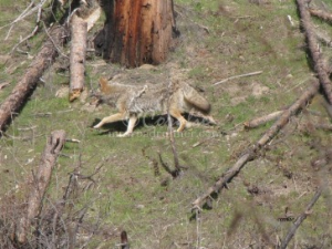 Oregon Coyote | Photos and Images | Animals