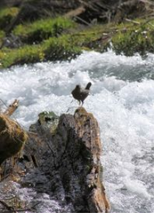 American Dipper bird 2 | Photos and Images | Animals