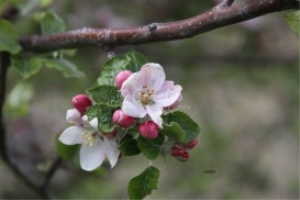 apple tree flowers | Photos and Images | Botanical