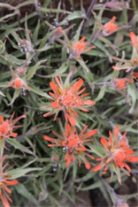 high desert Indian Paintbrush Flower | Software | Business | Other