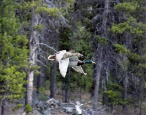 mallard duck bird | Photos and Images | Animals