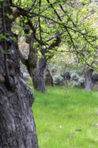 old apple orchard | Photos and Images | Botanical