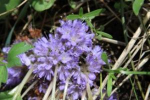 oregon wildflowers | Photos and Images | Botanical
