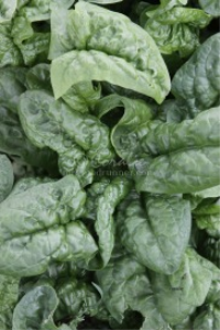 spinach plant | Photos and Images | Food