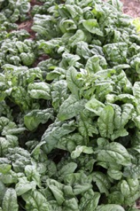 spinach plants | Photos and Images | Food