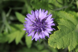 Bachelor Button Flower | Photos and Images | Botanical