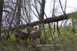 mule deer fawns in the canyon | Photos and Images | Animals
