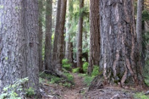 Path Through The Old Growth | Photos and Images | Nature