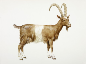 gossiping goat