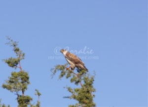 Ferruginous Hawk | Photos and Images | Animals