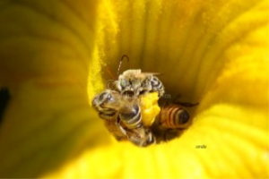 Mortar Bee | Photos and Images | Animals