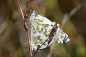 Green – Veined White Butterfly | Photos and Images | Animals